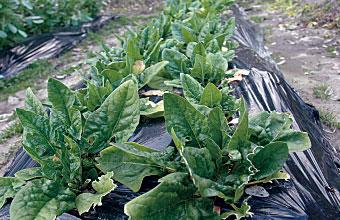 cafe隣の畑で野菜作り 無農薬野菜を使った お食事をどうぞ